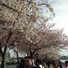 ルーズベルトアイランドの桜