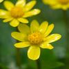 リュウキンカの花畑:今日は雨水