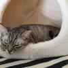 保護猫のムーアさんの妊娠②妊娠50日~60日前後の話。