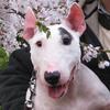 【永久保存版】遂に発見、犬の笑い顔はこの写真だ ~ポイントは鼻の皺。そして口元の皺~