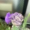 【おまけ】トルコギキョウ間もなく開花!