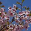 早咲きの桜が満開です(後編)