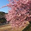 熱海・河津旅行:川沿いからも満開の河津桜を堪能