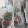 ベランダで小松菜のプランター栽培