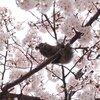 花より団子?お花見シーズンの主役の桜を食べちゃうリス