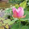 ハスの花咲く星名池と大府みどりの公園(大府市)