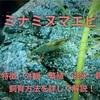 ミナミヌマエビの特徴や飼育方法・混泳・餌・繁殖を詳しく徹底解説!