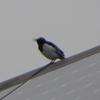 屋根の上の小鳥は「ツバメ」のようで、違うようにも!