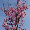陽光桜満開!