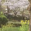 ふるさと国立市の見事な桜と、青空の下でのピアノ演奏