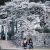 【写真】篠山城跡に少し遅めの桜を見に行った(2019/04/13)その1