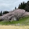 一本桜を愛でる