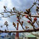 神戸サクラ通信その7「メリケンパークの桜、こりゃもう明日、咲きますね!」