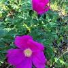 ハマナスとライラック:北海道の花