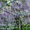 糸島の藤の花の開花状況