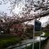 東京の落合川へ早朝の花見散歩に行ってきた!