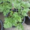 ニガヨモギのタイラ的栽培方針