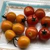 ミニトマト収穫 & スリップスがいなくなった