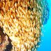 ♪100万匹はいたと思う!!もの凄い魚影!! in 糸満♪〜沖縄ダイビング那覇PADIダイビングライセンス〜