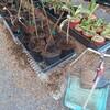 スズメのしわざ クッション材を数える タンポポとスイセン ツツジを植える