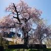 円山公園でお花見