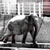 ゾウをモノクロ撮影すると