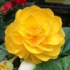 ベゴニアの花色を感じる