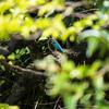 親水公園のカワセミ