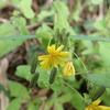 秋咲きの黄色いタンポポの花は、ヤクシソウかもしれません