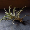 「Tillandsia harrisii 」