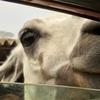 福島【東北サファリパーク】で草食動物の威力を知る