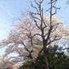 お出かけ日記@東京さくらトラム(都電荒川線)にのって北区飛鳥山公園でお花見