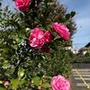 11月1日 サザンカの花が咲いた