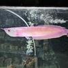 あのお魚がピンク色に!