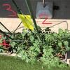 収穫までの準備は完了!?プランター栽培 支柱の設置 トマト きゅうり なす