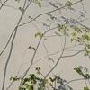 暖かくなってきました 桜とアオダモ