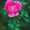 Luminar4で、花写真をレタッチ