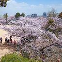 神戸サクラ通信その12「満開の会下山公園の桜の木の下で」