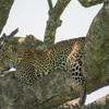 【タンザニア旅行記】セレンゲティでサファリ!野生のヒョウに会えました!