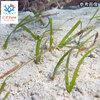 C.P.Farm直送(海水魚 海草)ウミジクサ S(約50cm 12株)(0.08個口相当)別途送料 海水 海草