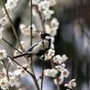 白梅の枝で、さえずるシジュウカラ