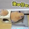 【ハムスター 動画】脱走中に「お腹のお肉が引っ掛かってもうた…」と心の中で叫ぶハムスターの体重測定!Weight loss by letting the hamster escape!