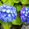 『紫陽花(アジサイ)』