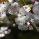 気多白菊桜(前編)