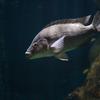 ナイルティラピア Oreochromis niloticus niloticus