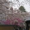 桜の季節に桜が満開! 新井薬師梅照院だっ!!