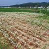 蕎麦の花が咲きました