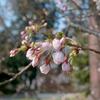 三月最後の水曜日の桜