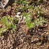 クロタネソウの芽吹きというか、小屋というか・・。