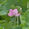 蓮の花がさきはじめました 福岡県遠賀郡遠賀町島津